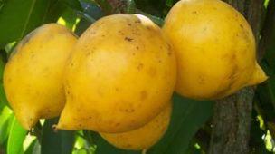 mangostão amarelo