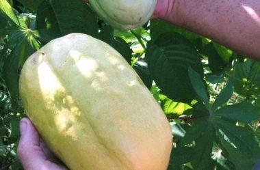 Maracujá gigante, maracujá melão e outros tipos de maracujá