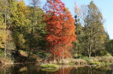 Pinheiro do Brejo, Cipreste Vermelho – Taxodium Distchum