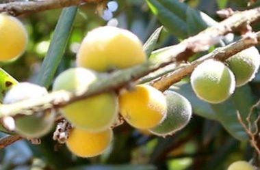 Cabeludinha ou Jabuticaba Amarela (Myrciaria glazioviana)