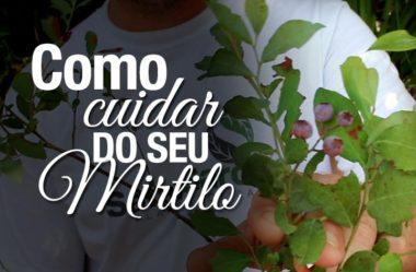 Dicas de como plantar e cultivar Mirtilo