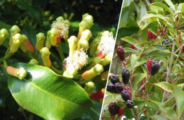 Cravo da India – Cha de Cravo – Eugenia caryophyllata