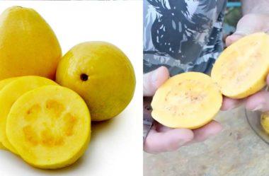 Goiaba Amarela ou Goiaba Gema: amarela por fora e por dentro