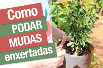 Como podar mudas de árvores frutíferas enxertadas