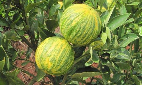 laranja melancia