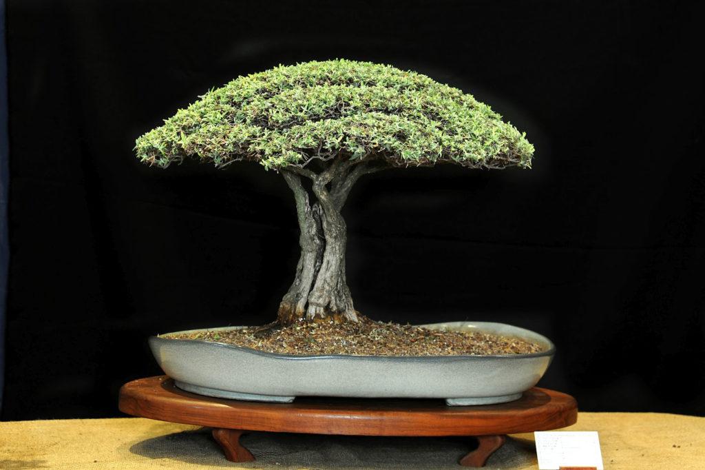 louis-nel-bonsai