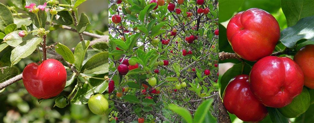 Acerola, arvores frutíferas para calçadas