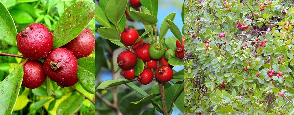 Araçá vermelho ou rosa, arvores frutíferas para calçadas