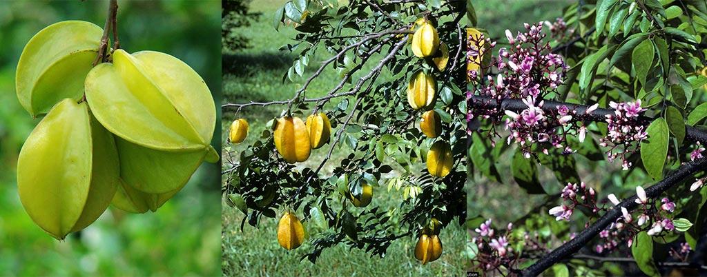 Carambola, arvores frutíferas para calçadas