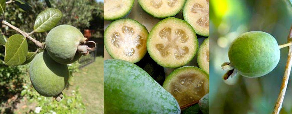 Feijoa, arvores frutíferas para calçadas