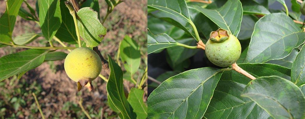 Gabiroba do Campo, arvores frutíferas para calçadas
