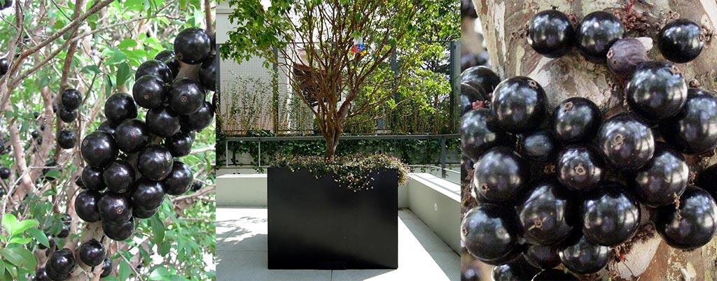 Jabuticaba Híbrida, arvores frutíferas para calçadas