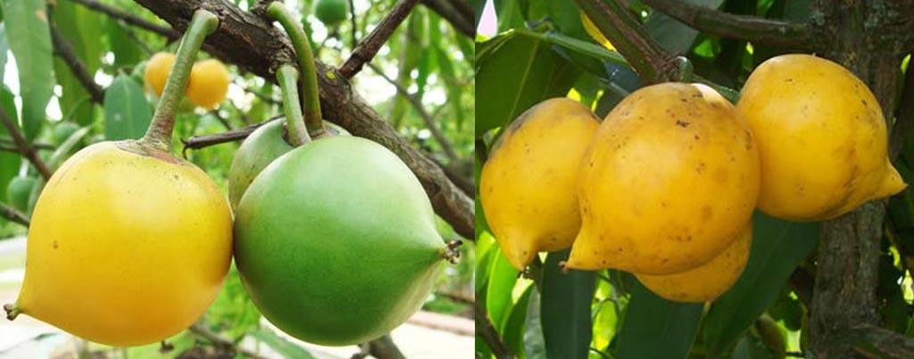 Mangostão amarelo, arvores frutíferas para calçadas