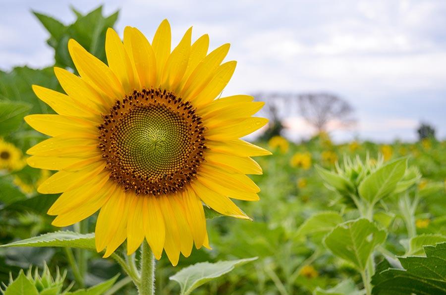 Girassol na Agricultura Orgânica