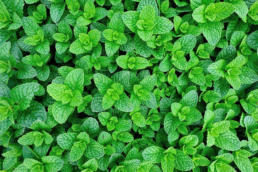 Hortelã na Agricultura Orgânica