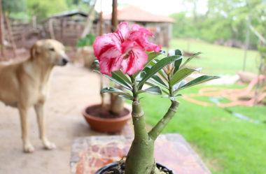 Rosa do Deserto – Como plantar, transplantar e cultivar