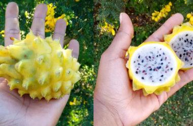 Pitaya Amarela e outros tipos raros de pitaya