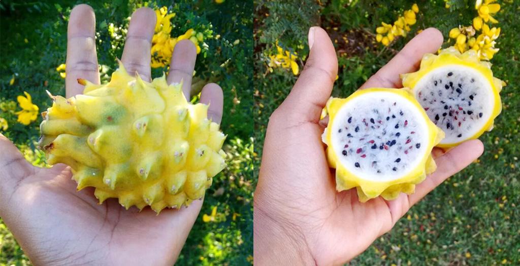 pitaya amarela com espinhos